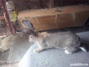 Vand iepuri urias German gri - imagine 8