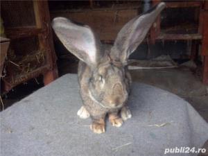 Vand iepuri urias German gri - imagine 9