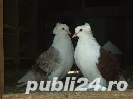 Vand porumbei creti francezi capaciti si albi - imagine 4