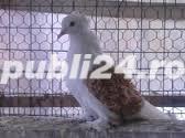 Vand porumbei creti francezi capaciti si albi - imagine 5