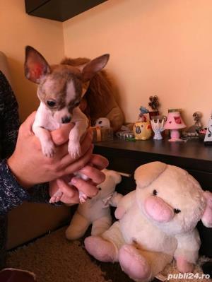 Chihuahua extra miny toy - imagine 2