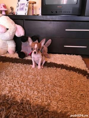 Chihuahua extra miny toy - imagine 5