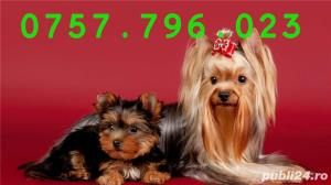 Yorkshire Terrier Mini Toy- Calitate- Garantie- Rasa Pura- Livrare in Iasi - imagine 4