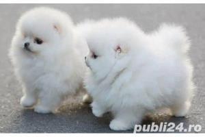 Pomeranian Toy alb sau maro~ 2 luni~ 100% rasa curata~ Livrez in orice oras - imagine 2