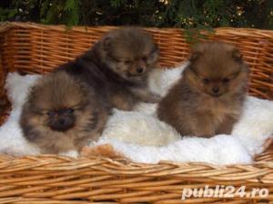 Pomeranian Toy alb sau maro~ 2 luni~ 100% rasa curata~ Livrez in orice oras - imagine 3