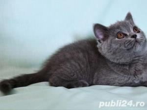 British Shorthair Blue - Livrare in Orice Oras - imagine 9