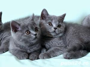British Shorthair Blue - Livrare in Orice Oras - imagine 8