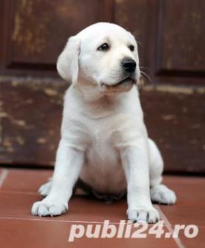 Labradori de calitate, par scurt, rasa pura - imagine 1