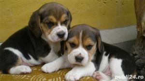 Vand caini beagle bucuresti iasi oradea constanta brasov - imagine 1