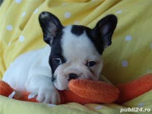 catelusi bulldog francez de vanzare bucuresti brasov iasi titmisoara galati - imagine 1