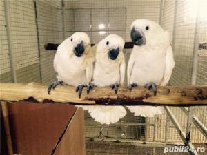 Vand pui papagali Jako si ara  - imagine 5