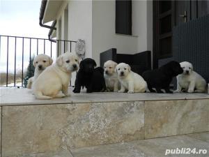 Pui labrador cu pedigree Tip A - imagine 7