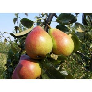 Pomi fructiferi GRATIS - imagine 3