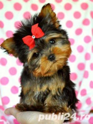 Yorkshire Terrier Mini Toy- Calitate- Garantie- Rasa Pura- Livrare in Iasi - imagine 3