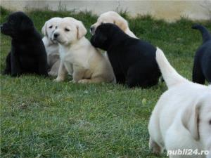 pui labrador cu pedigree tip A - imagine 2