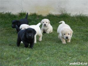 pui labrador cu pedigree tip A - imagine 1