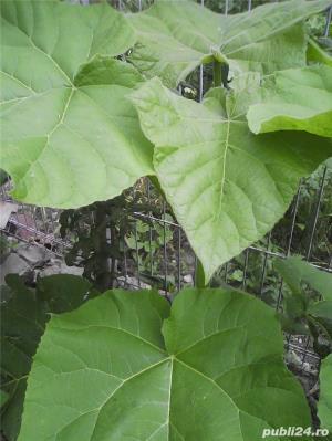 seminte de paulownia - imagine 3