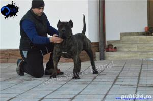 Canisa Noble Sangre Dogo Canario/Presa Canario/Pedigree - imagine 3
