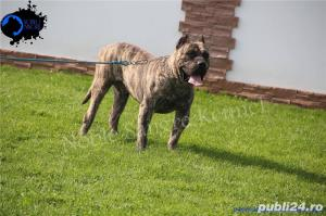 Canisa Noble Sangre Dogo Canario/Presa Canario/Pedigree - imagine 4