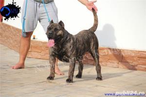 Canisa Noble Sangre Dogo Canario/Presa Canario/Pedigree - imagine 5