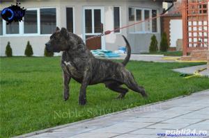 Canisa Noble Sangre Dogo Canario/Presa Canario/Pedigree - imagine 2