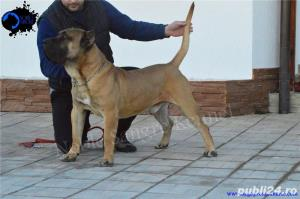 Canisa Noble Sangre Dogo Canario/Presa Canario/Pedigree - imagine 7
