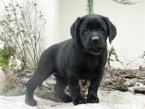 catei labrador cu pedigree tip A  - imagine 4