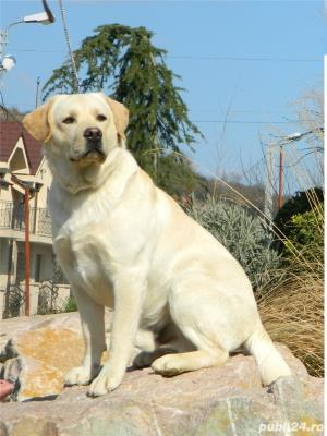 catei labrador retriever cu pedigree tipA- calitate de show - imagine 9