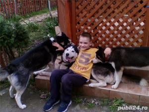 Pui Husky   - cadoul perfect pentru toata familia - imagine 10