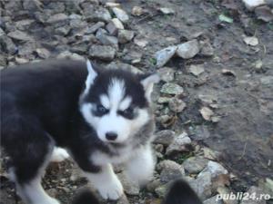 Pui Husky   - cadoul perfect pentru toata familia - imagine 1