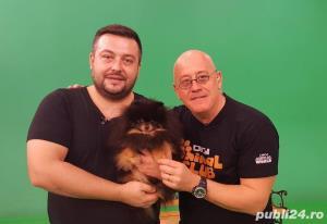 Mascul Pomeranian - imagine 1