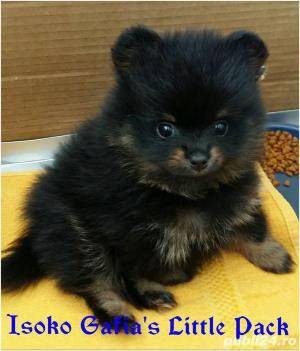 Mascul Pomeranian - imagine 2