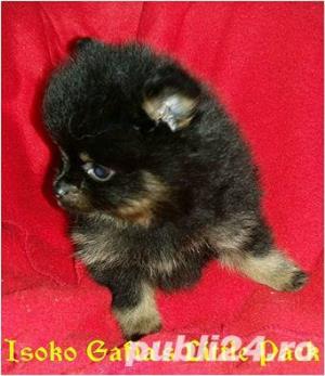 Mascul Pomeranian - imagine 3