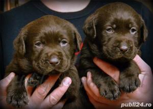 Pui Labrador Retriever cu pedigree tip A - imagine 4