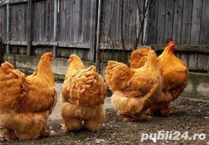 vand oua de incubat si pui din rasa cochinchina urias 2020 - imagine 4