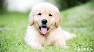 Golden Retriever, catei la 7 saptamani - imagine 1