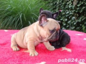 Pui Bulldog Francez gri,negri, bej- Rasa pura- Garantie- Livrare in orice oras - imagine 2