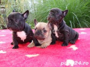 Pui Bulldog Francez gri,negri, bej- Rasa pura- Garantie- Livrare in orice oras - imagine 3