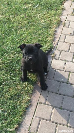 Vanzare Staffordshire Bull Terrier - imagine 5