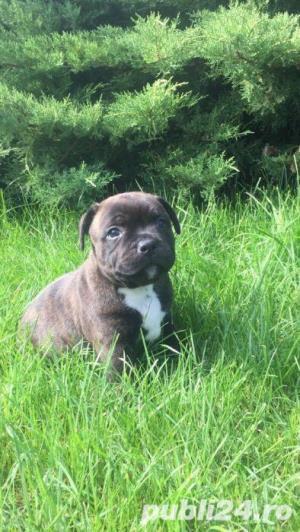 Vanzare Staffordshire Bull Terrier - imagine 2