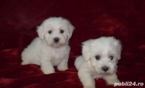 catei bichon maltese , rasa pura - imagine 2