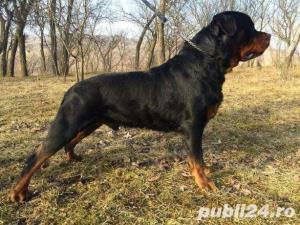 Monta cu mascul Rottweiler cu pedigree Gaston Von der Neumarktstrasse - imagine 2