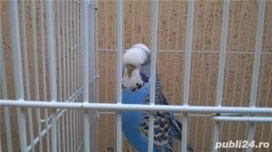vand papagali perusi - imagine 2