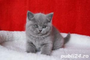 British Shorthair Blue - Livrare in Orice Oras - imagine 2
