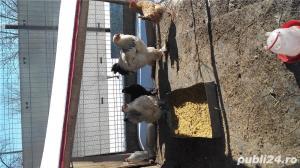 vand oua brahma pentru incubat - imagine 3