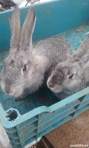 Vand iepuri diferite varste - imagine 3