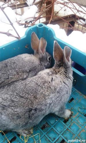 Vand iepuri diferite varste - imagine 5