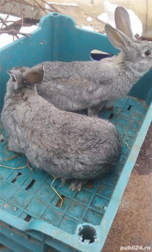 Vand iepuri diferite varste - imagine 10