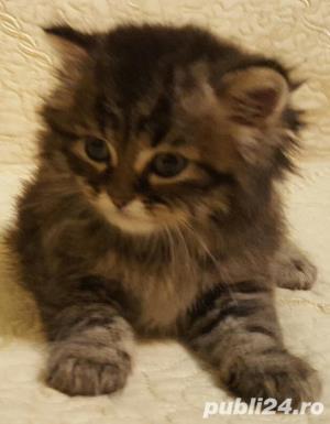 vand pui pisica norvegiana de padure de calitate crescuti in casa  - imagine 1