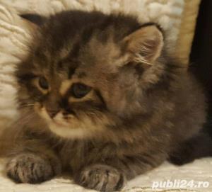 vand pui pisica norvegiana de padure de calitate crescuti in casa  - imagine 2